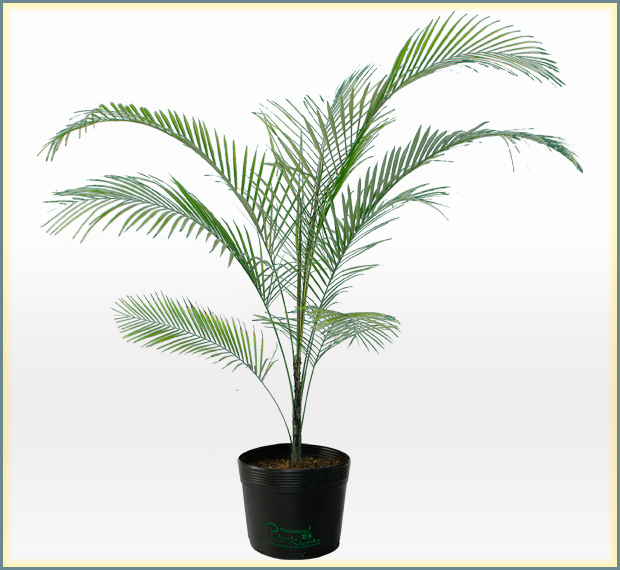 Pin coco verde on pinterest for Plantas decorativas de exterior